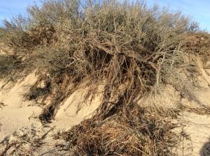 dunes-erosion-grass-roots