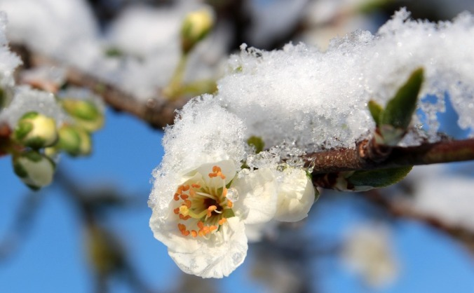 Plum blossom in snow