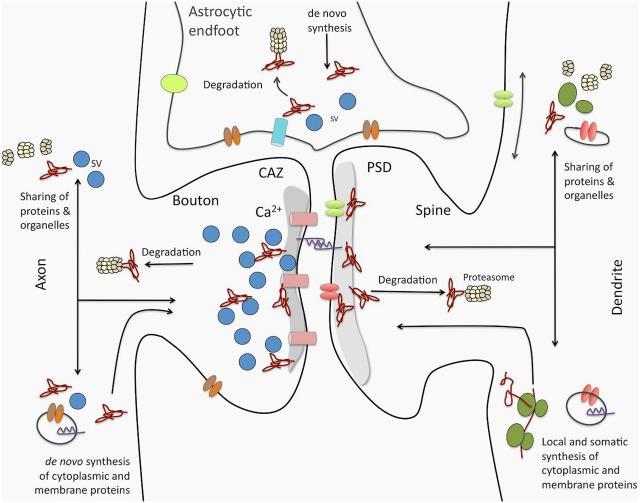 Tripartite Synapse