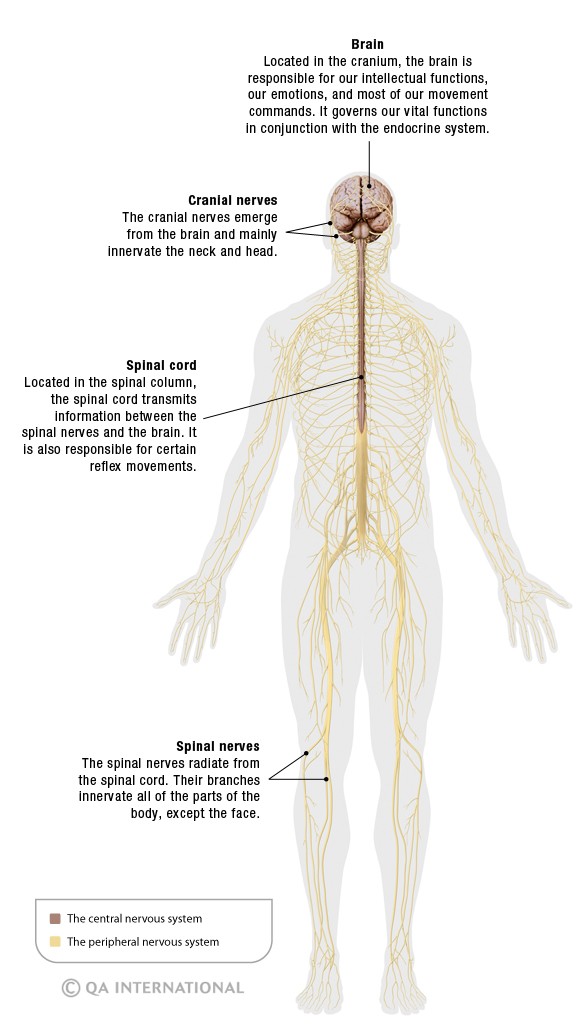 Drawing of the Central and Peripheral Nervous System - showing brain and nerves throughout the human body